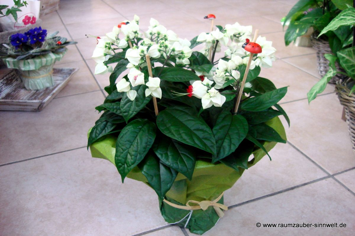 Losbaum (Clerodendron)