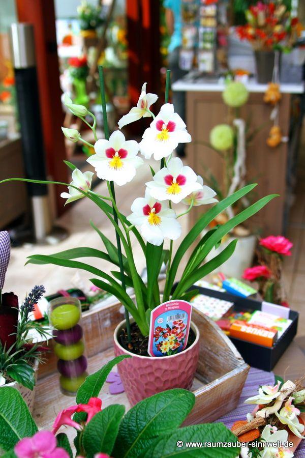 Stiefmütterchenorchidee (Miltonia)