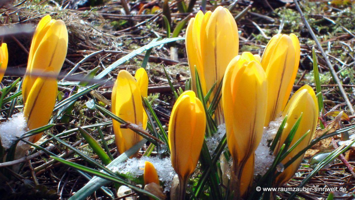 Frühlingsboten Krokus (Crocus)