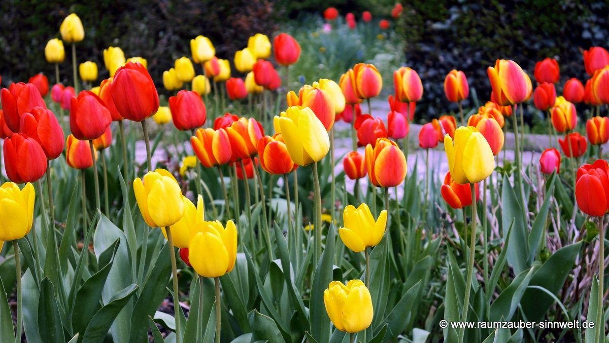 farbenprächtige Tulpenwiese (Tulipa)