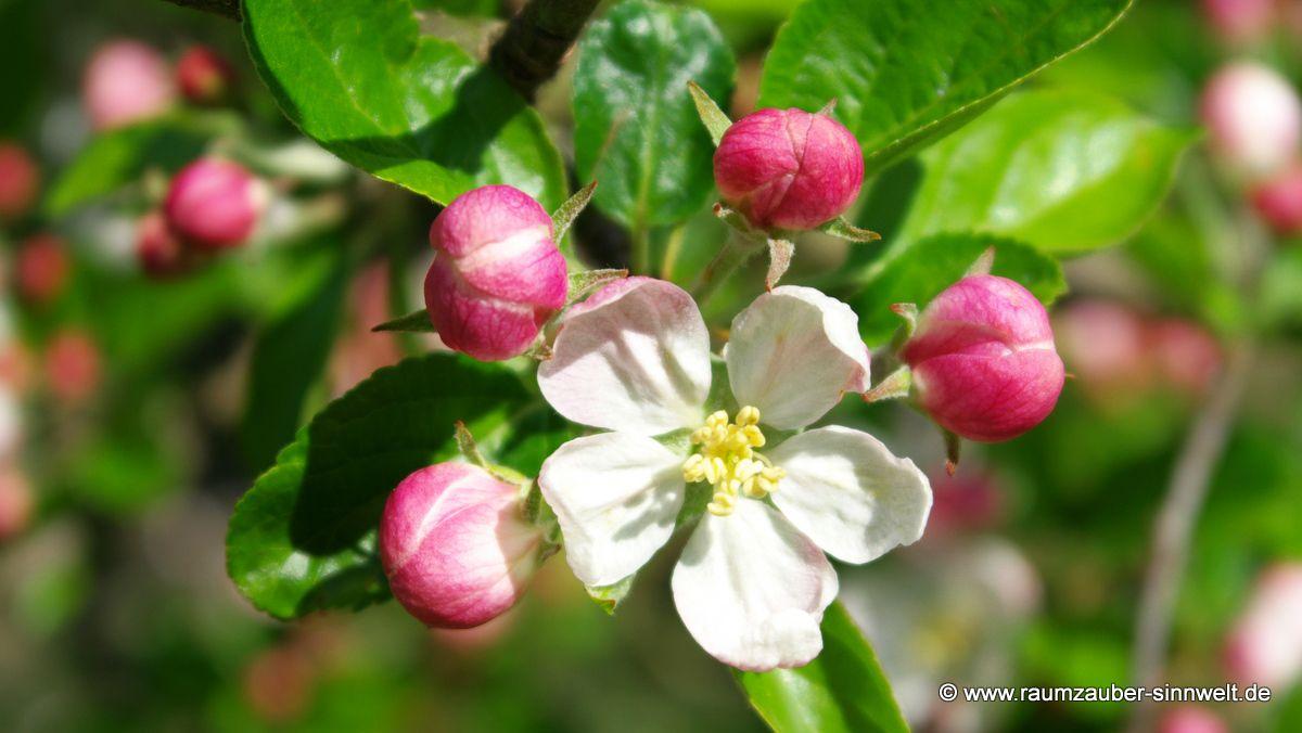 Apfelblüte (Malus)