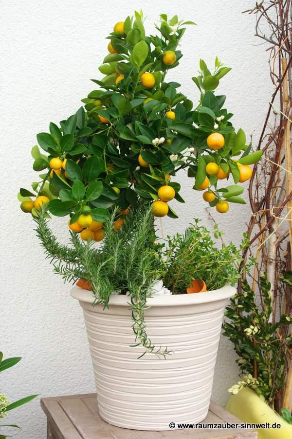 Lemon-Bäumchen und Kräuter in Fabriano-Keramik