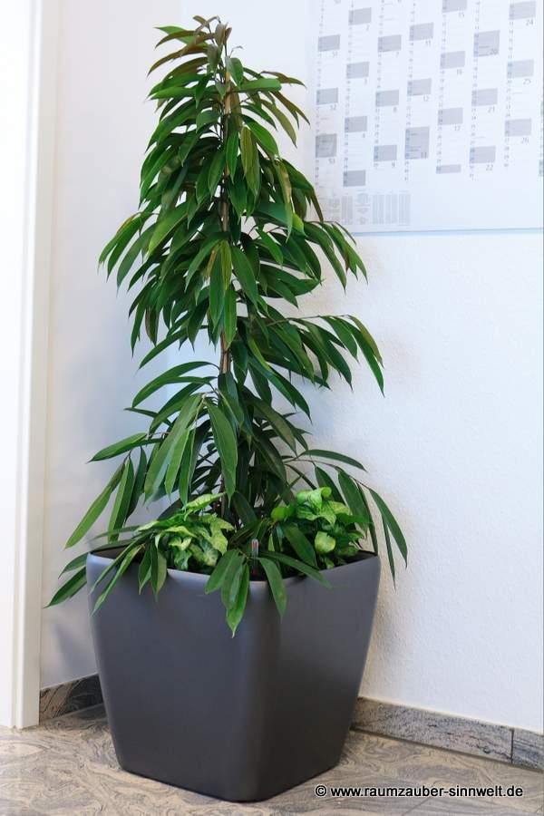 Ficus alii in Pflanzgefäß von LECHUZA