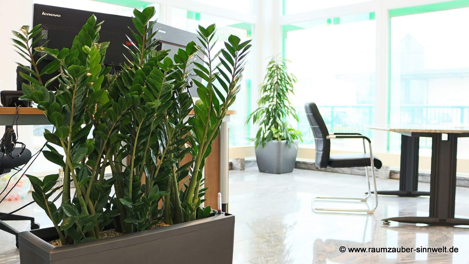 Zamioculcas im Vordergrund, Ficus alii im Hintergrund