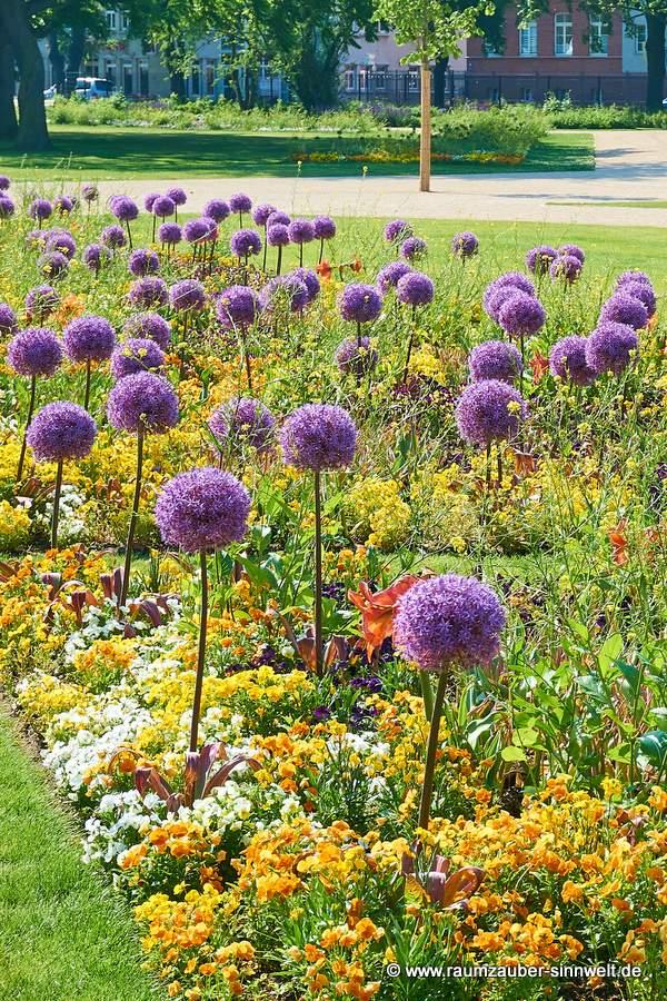 Allium und Stiefmütterchen
