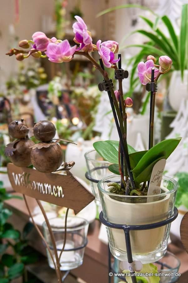 Orchidee Phalaenopsis in Glasgefäß